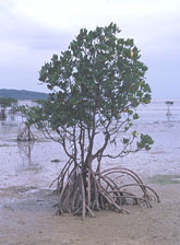 whats_mangrove4